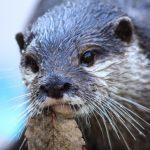 カワウソと握手できる動物園や水族館の一覧をまとめました。